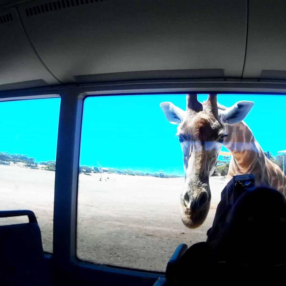 Tookii things to do with kids Monarto Zoo giraffes
